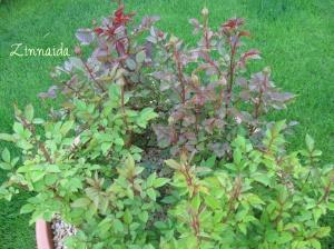 trandafirii-pitici-imbobociti